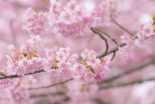 河津桜の写真素材 [FYI04835848]