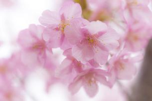 河津桜の写真素材 [FYI04835853]