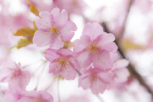 河津桜の写真素材 [FYI04835855]