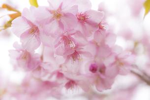 河津桜の写真素材 [FYI04835856]
