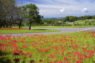 彼岸花咲く吉野公園の写真素材 [FYI04836013]