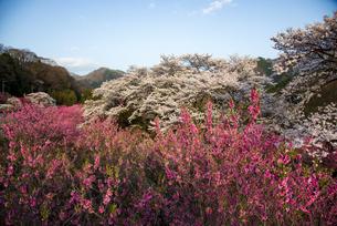 神戸駅より満開の桜とハナモモの写真素材 [FYI04836065]
