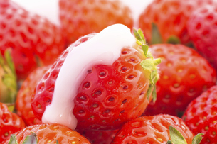 朝摘みイチゴの写真素材 [FYI04836135]