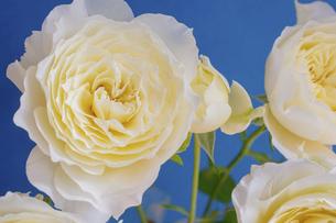 青背景の白い薔薇の写真素材 [FYI04836176]