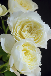黒背景の白い薔薇の写真素材 [FYI04836177]