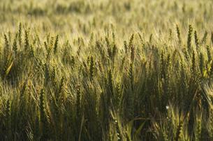 輝く麦の穂の写真素材 [FYI04836179]