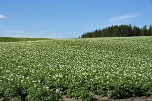 花が咲いたジャガイモ畑と青空の写真素材 [FYI04836180]