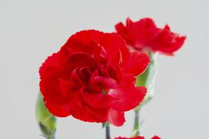 白背景の赤いカーネーションの写真素材 [FYI04836182]