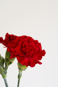 白背景の赤いカーネーションの写真素材 [FYI04836185]