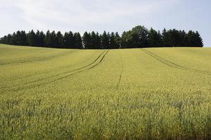 夏の緑のムギ畑の写真素材 [FYI04836188]