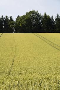 夏の緑のムギ畑の写真素材 [FYI04836189]