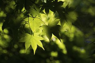 新緑のモミジの葉の写真素材 [FYI04836192]