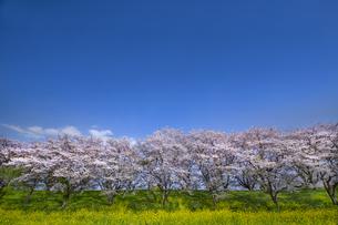 青空を背景に満開の桜包みと菜の花の写真素材 [FYI04836245]