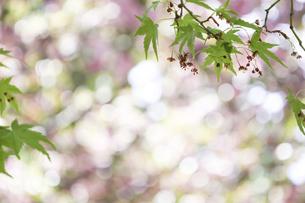 楓の花とその葉の写真素材 [FYI04836264]