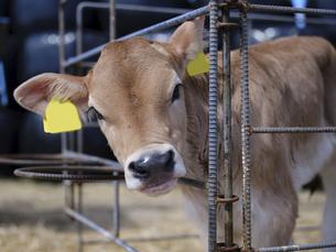 ブラウンスイスの子牛の写真素材 [FYI04836266]