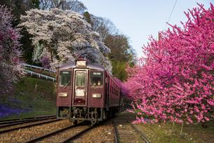 西日を受けて満開のサクラやハナモモの間を走るローカル鉄道 神戸駅付近の写真素材 [FYI04836281]