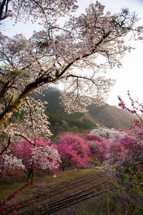 西日に輝く谷間のサクラやハナモモなど 神戸地区の写真素材 [FYI04836320]