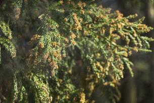 杉花粉の写真素材 [FYI04836397]