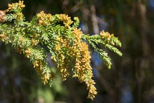 杉花粉の写真素材 [FYI04836402]