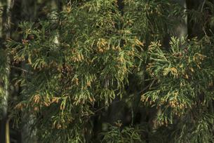 杉花粉の写真素材 [FYI04836405]