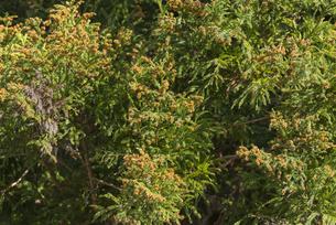 杉花粉の写真素材 [FYI04836406]