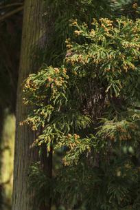 杉花粉の写真素材 [FYI04836407]