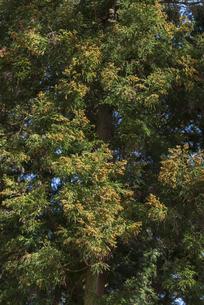 杉花粉の写真素材 [FYI04836408]