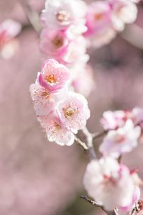 梅の花の写真素材 [FYI04836412]