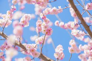 梅の花の写真素材 [FYI04836415]