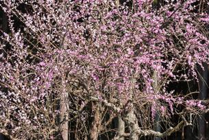 梅の花の写真素材 [FYI04836417]