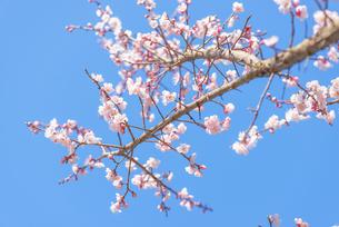 梅の花の写真素材 [FYI04836418]