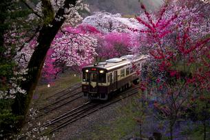 谷間に射す夕暮の光に浮かびあがる満開の桜やハナモモの間をライトを照らして走るわたらせ渓谷鉄道の列車 神戸駅付近の写真素材 [FYI04836506]