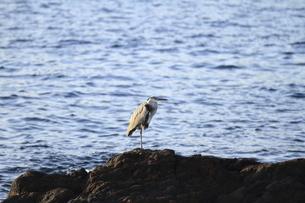 長崎鼻の岩場に佇む海鳥の写真素材 [FYI04836507]