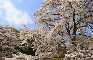 東秩父村 和紙の里の桜の写真素材 [FYI04836510]