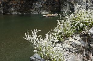岩畳に咲く雪柳と舟下りの写真素材 [FYI04836589]