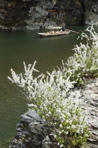 岩畳に咲く雪柳と舟下りの写真素材 [FYI04836590]
