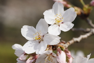 桜の花びら の写真素材 [FYI04836592]