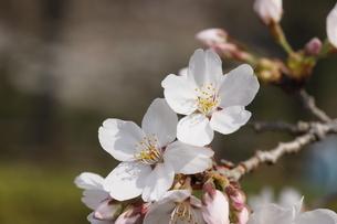 桜の花びら の写真素材 [FYI04836593]