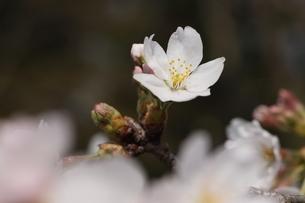 桜の花びら の写真素材 [FYI04836594]