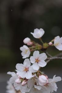 桜の花びら の写真素材 [FYI04836601]