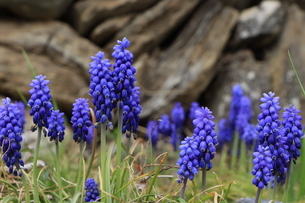 ムスカリの花 の写真素材 [FYI04836667]
