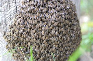 ミツバチの写真素材 [FYI04836690]