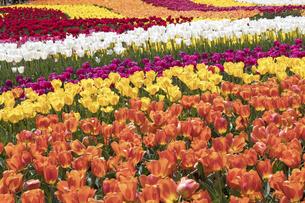 チューリップの花畑の写真素材 [FYI04836789]