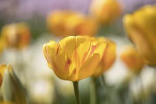 チューリップの花畑の写真素材 [FYI04836790]