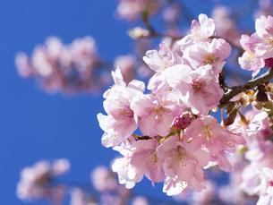 青空とサクラの花の写真素材 [FYI04836834]