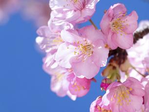 青空とサクラの花の写真素材 [FYI04836841]