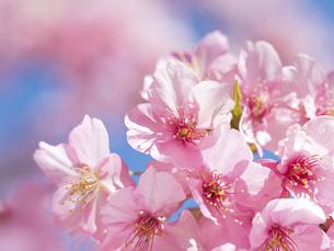 青空とサクラの花の写真素材 [FYI04836846]