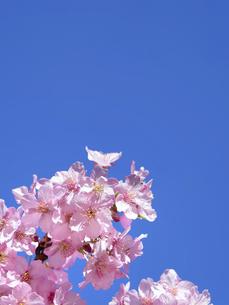 青空とサクラの花の写真素材 [FYI04836854]