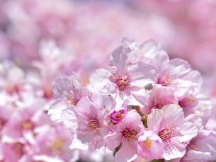 満開のサクラの花の写真素材 [FYI04836855]