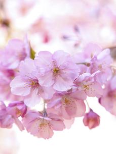 満開のサクラの花の写真素材 [FYI04836868]